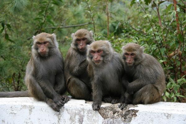 可愛的台灣獼猴群